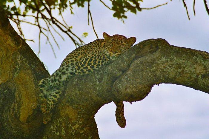 Leopard döst