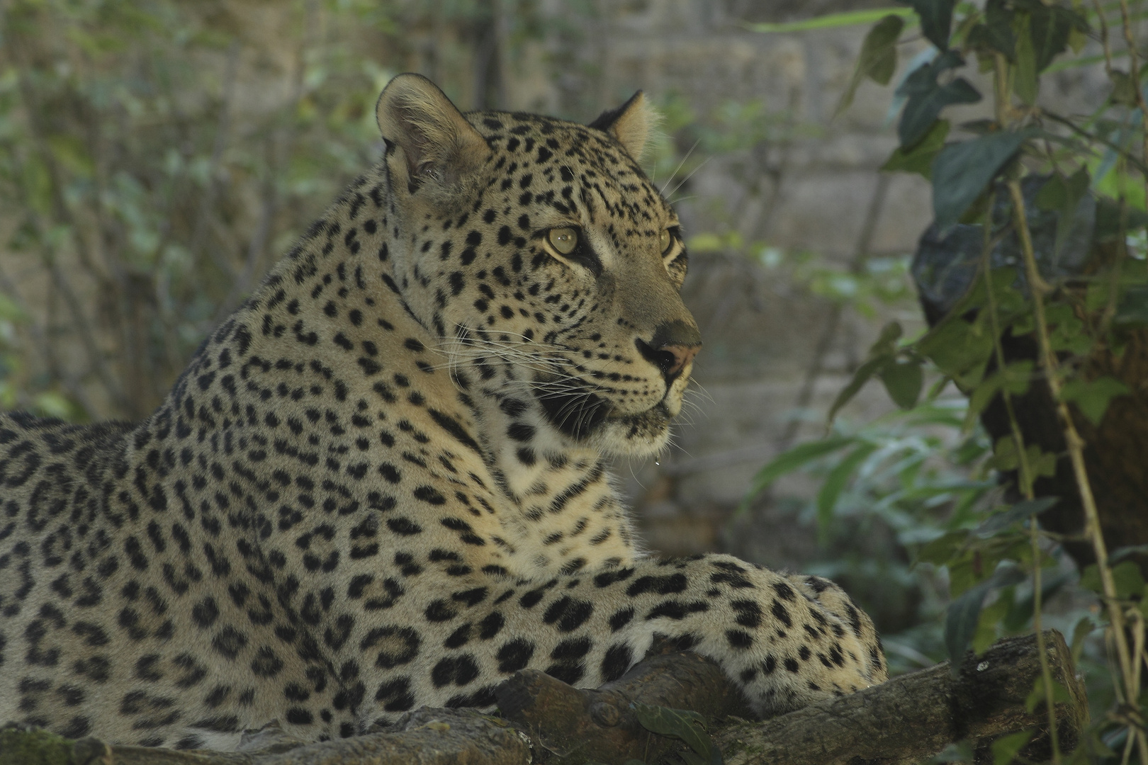 Léopard du Sri-lanka