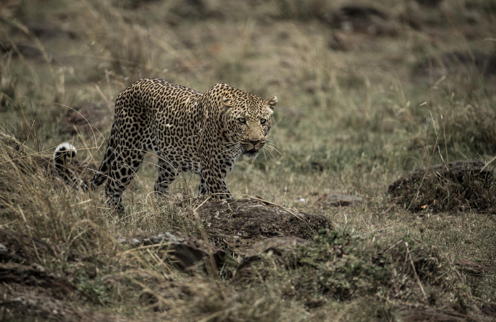 Leopard durchstreift......