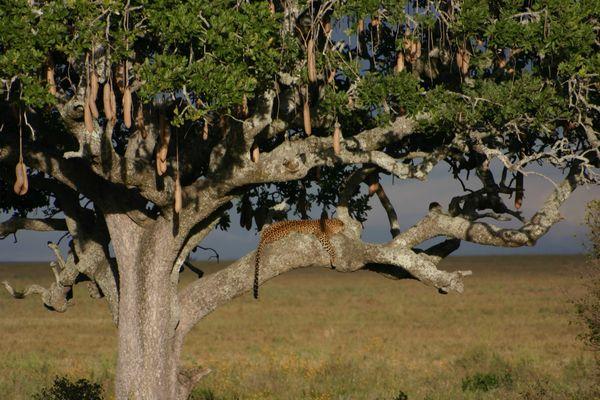 Léopard et arbre à saucisses