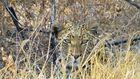 Leopard Etosha-Namibia