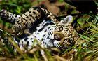 *** Leopard ***