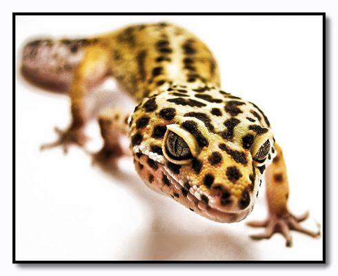 Leopard Gecko - Eublepharis Macularis