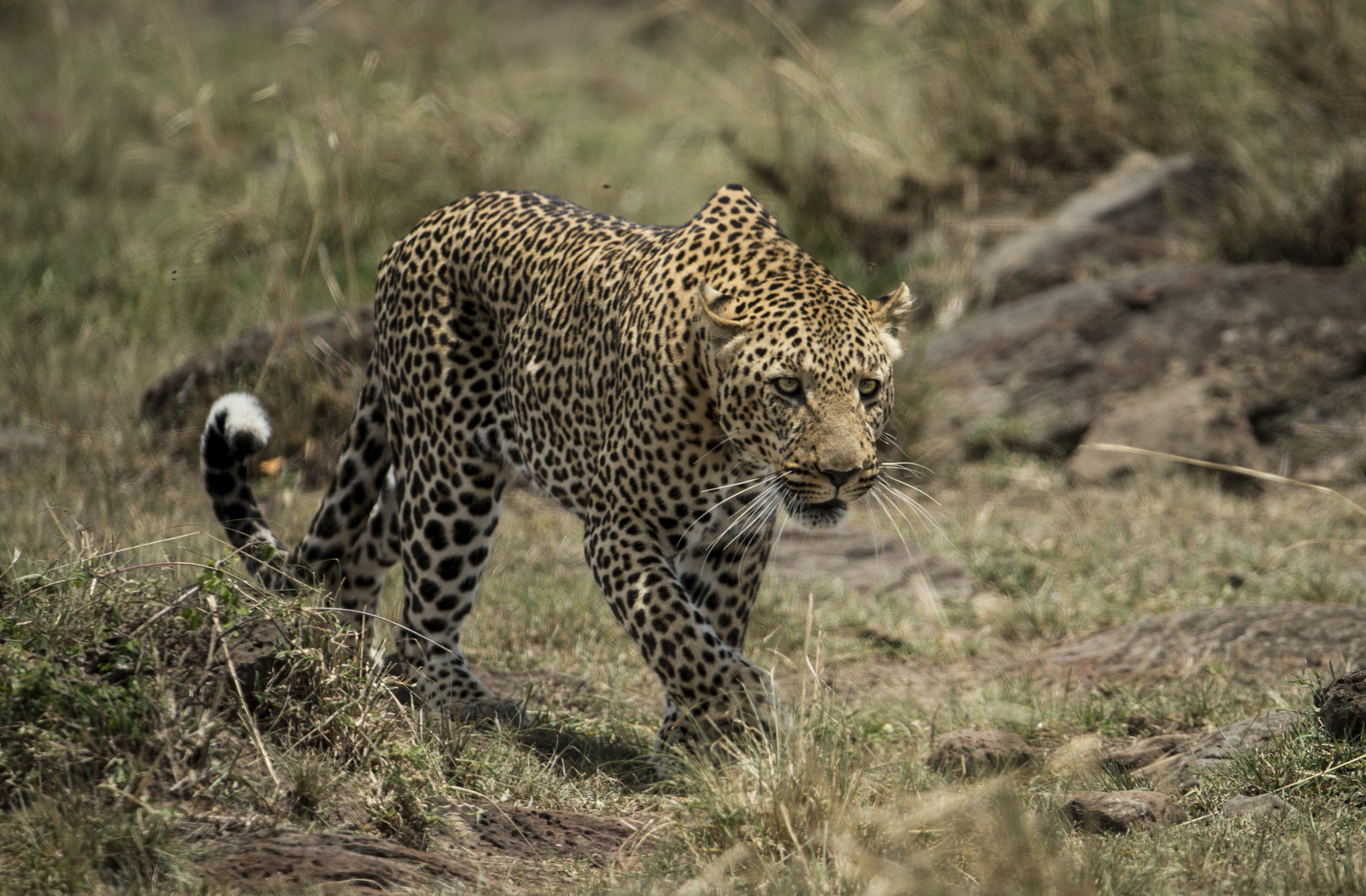 Leopard geht auf Jagd