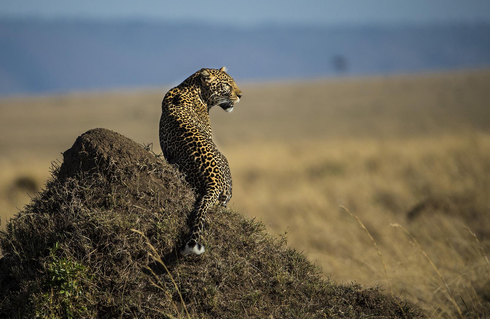Leopard hält Ausschau