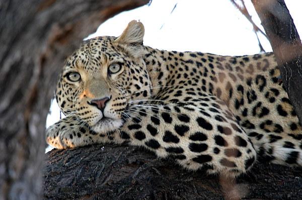 Leopard im Baum - seeehr aufmerksam!