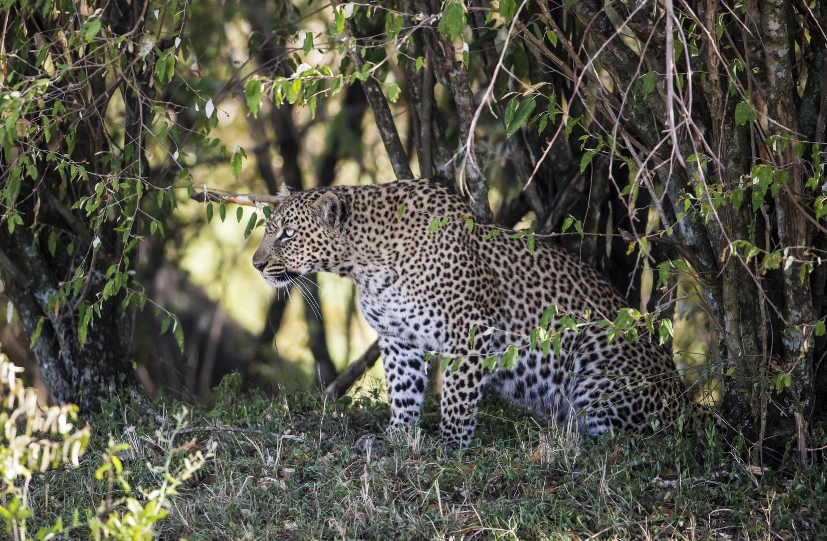 Leopard im Bush