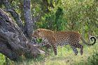 Leopard im Gegenlicht