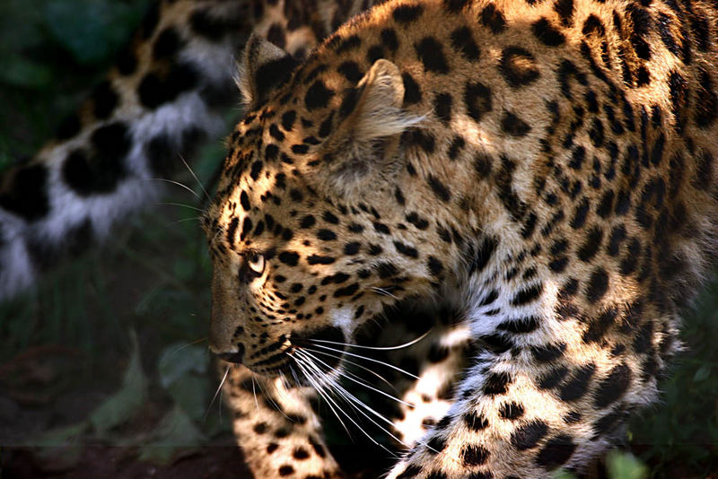 Leopard im Hagenbeck