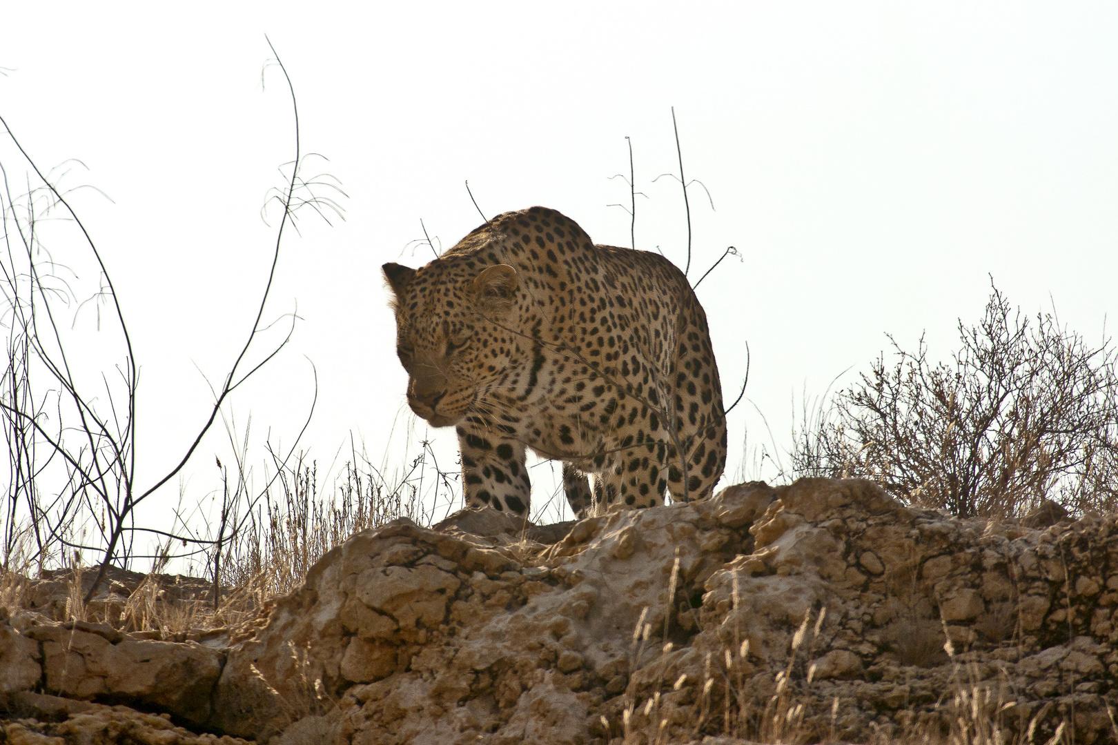 Leopard im Kgalagadi Transfontier Nationalpark