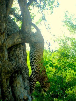Leopard im Kruger Park