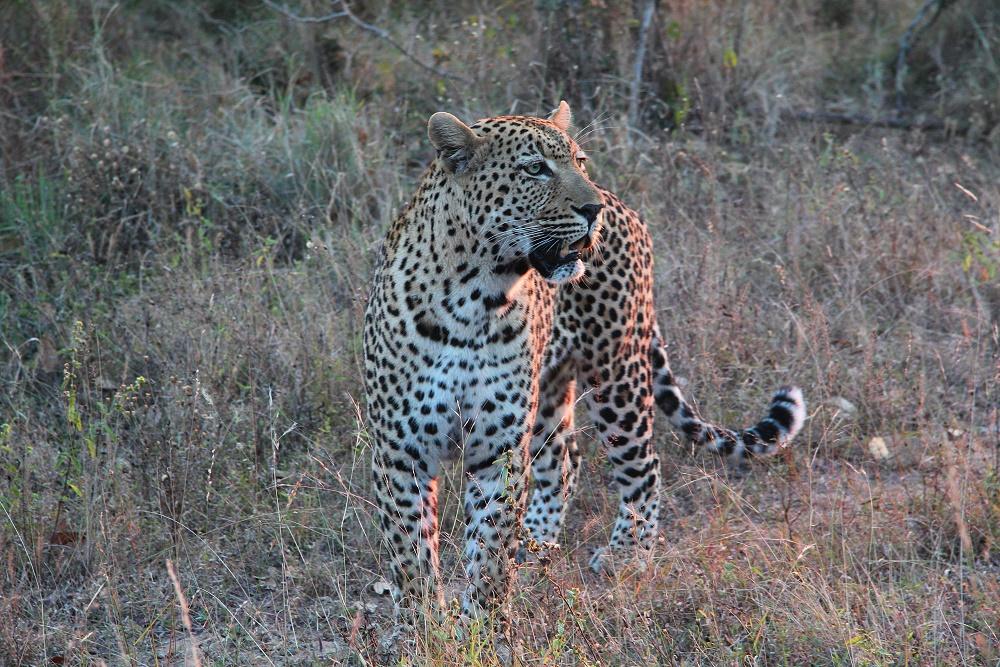 Leopard im letzten Sonnenlicht.