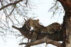 Leopard im Ruaha NP