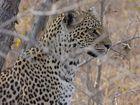 Leopard im Sabie Sand Reserve (FZ18)