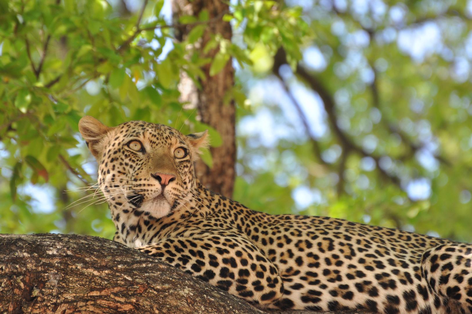 Leopard im South Luangwa