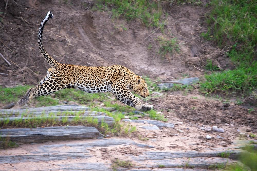Leopard im Sprung