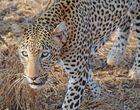 Leopard im Tsavo West Nationalpark Kenia