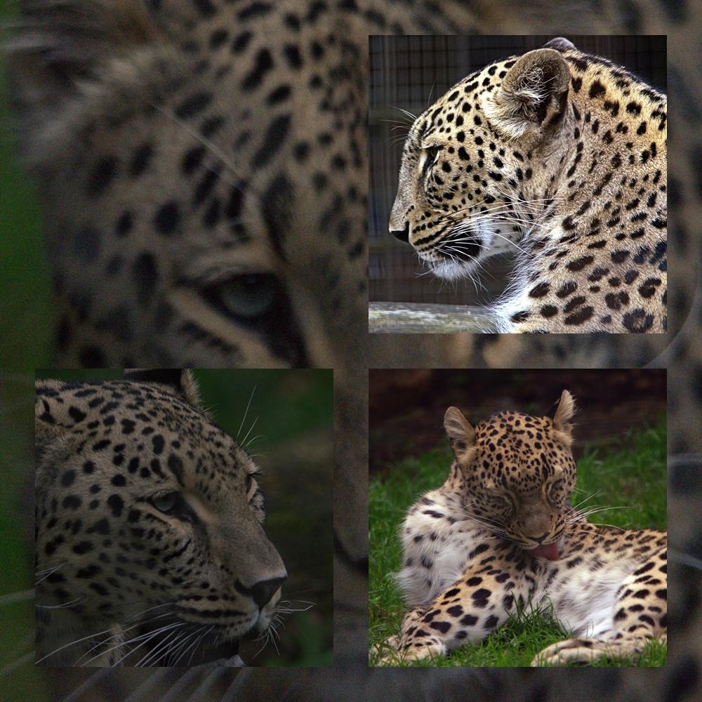 Leopard im Zoo Nordhorn