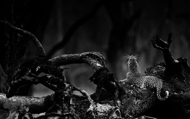 Leopard in black and white.