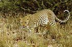 Leopard in der Kalahari