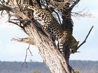 Leopard in der Masai Mara 6.