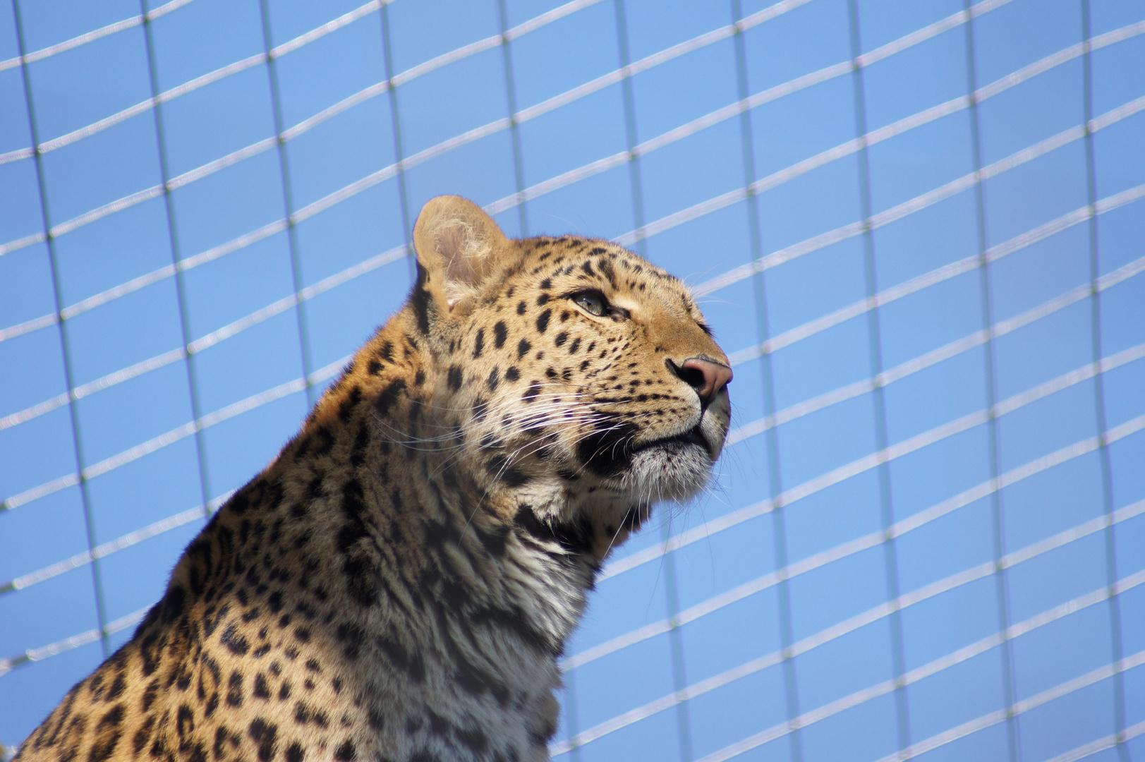 Leopard in der Sonne