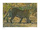 Leopard in freier Wildbahn