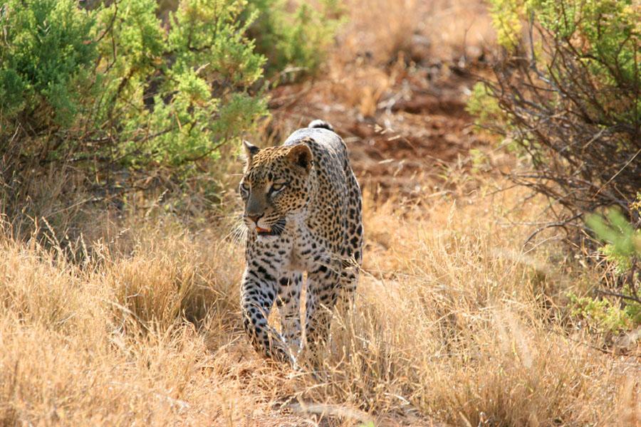 Leopard in Kenya
