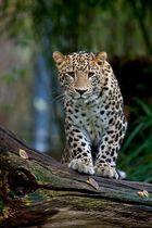 leopard in köln