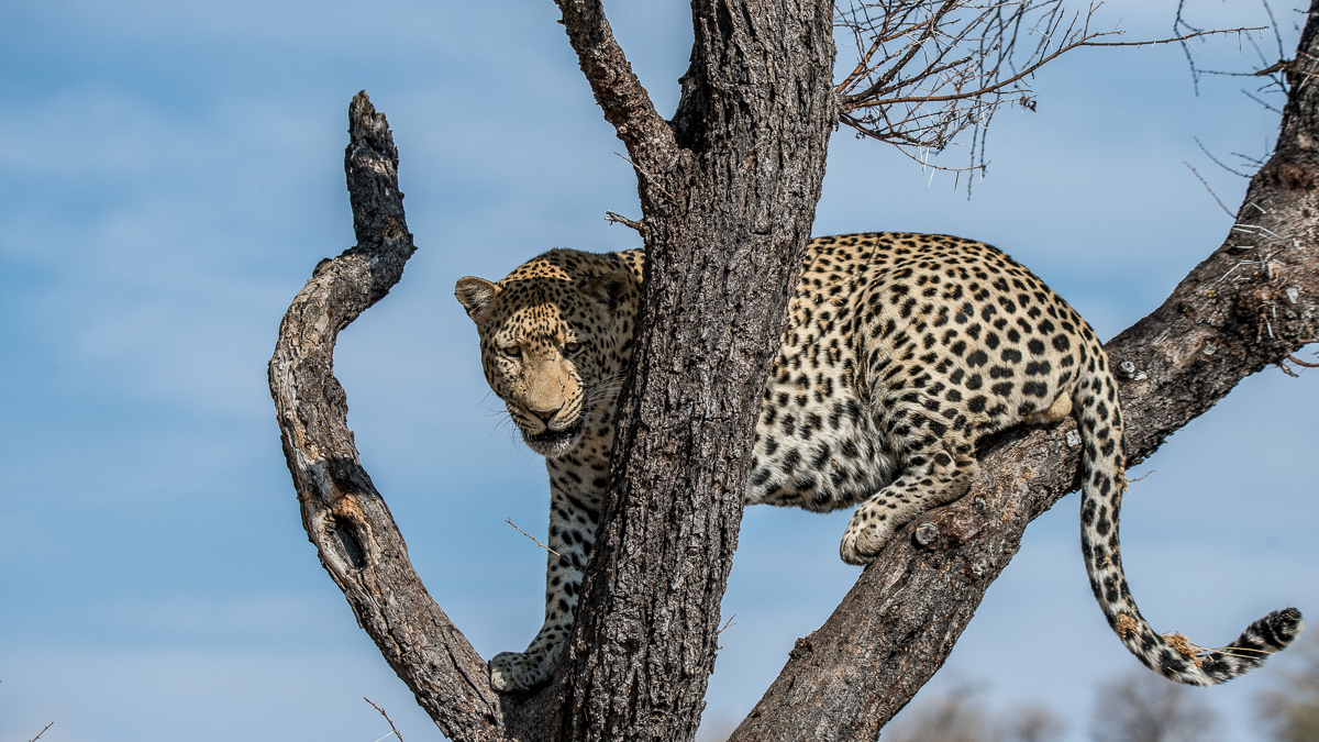 Leopard - in Namibia