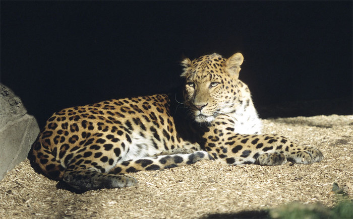 Leopard in Pose