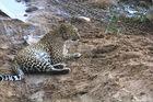 Leopard in seinem Revier