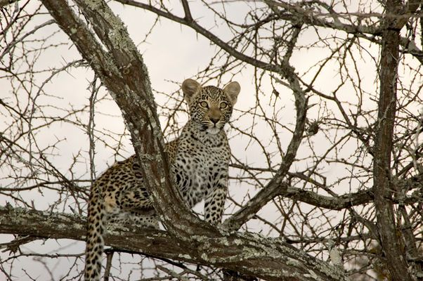Leopard in the morning