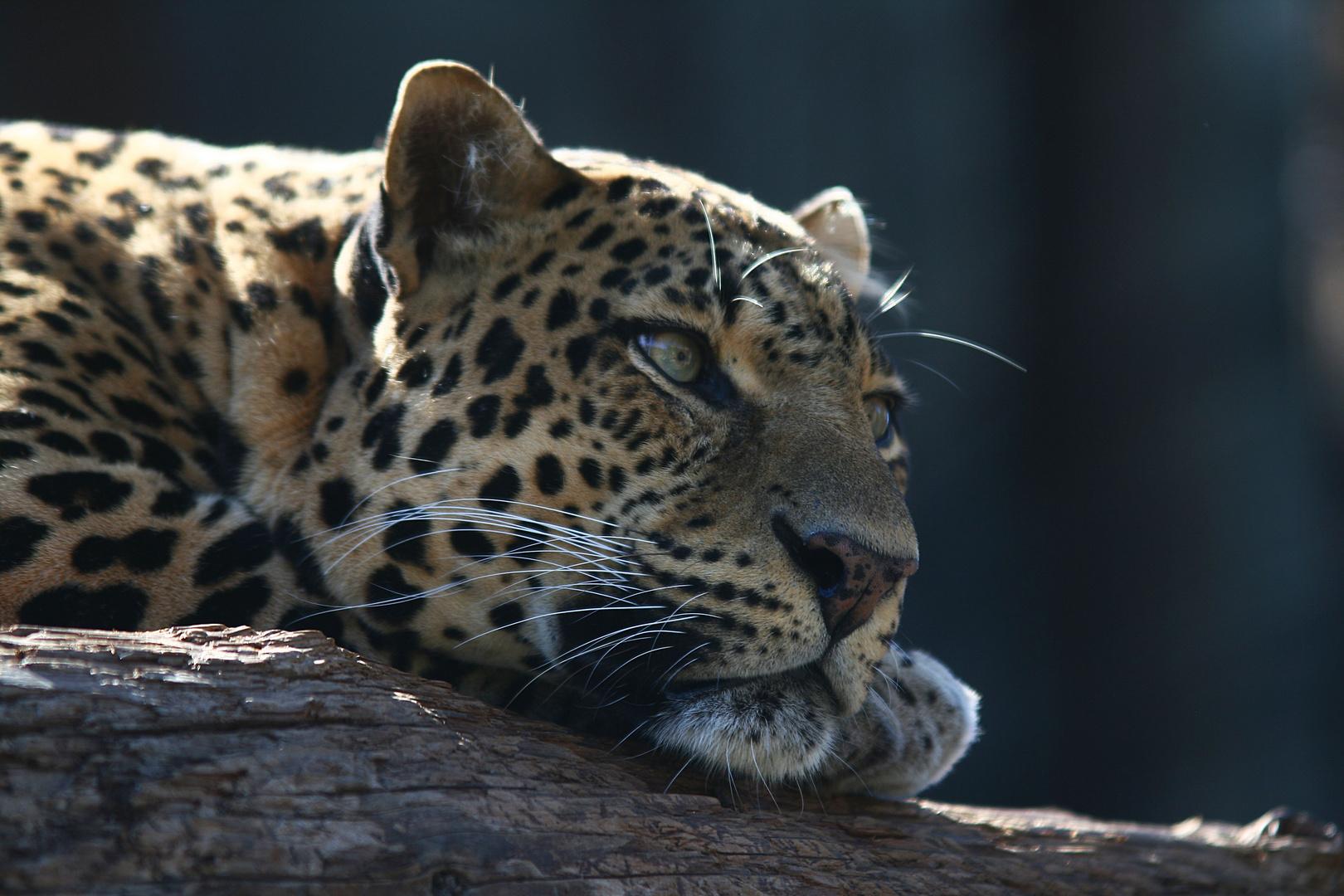 Leopard - Jungle Park auf Teneriffa