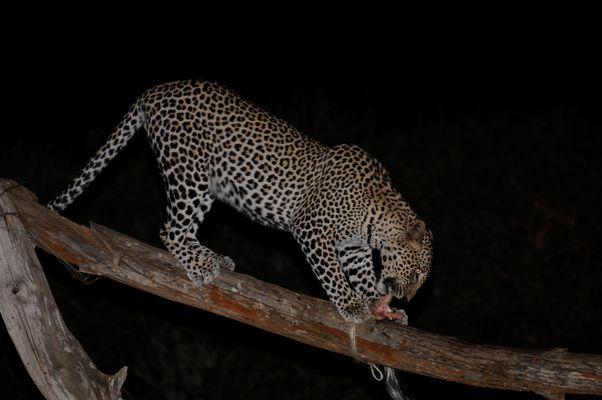 Leopard Kenia ( Tsavo West )