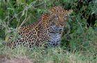 Léopard Kenya