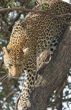 Leopard-Kenya`08
