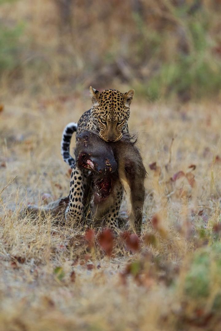 Leopard Linyanti-Region, Botswana