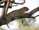 Léopard - Masai Mara / Kenya - A l'affût !