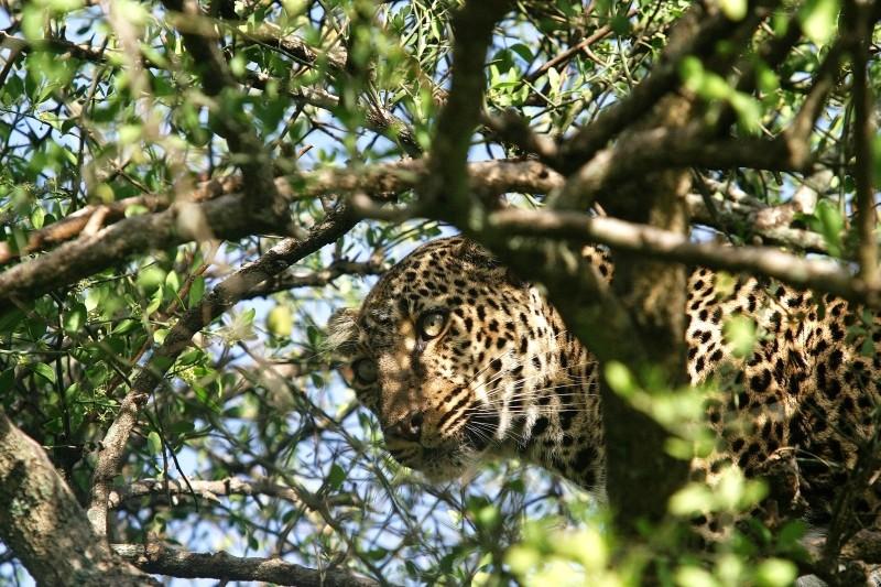 Léopard - Masai Mara / Kenya - Caché !