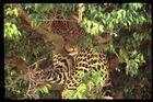 Leopard, Masai Mara, Kenya - (I am watching you!)