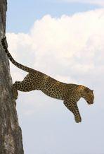 Léopard - Masai Mara / Kenya - Taking off ...