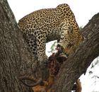 Leopard mit Beute im Baum
