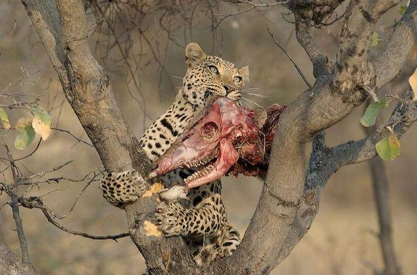 Leopard mit Kudu