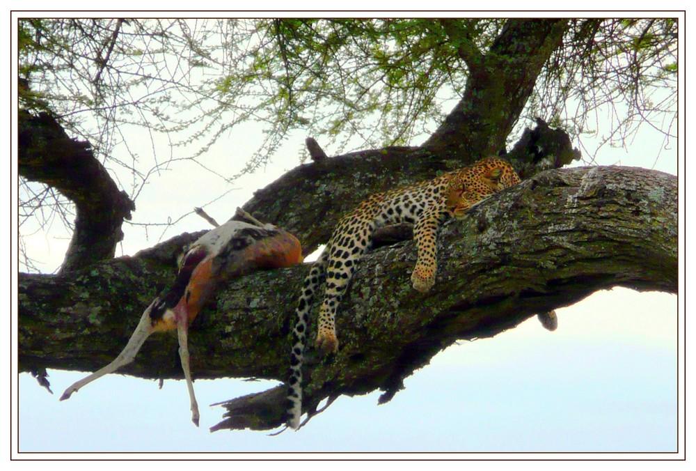 Leopard mit seinem Kill...