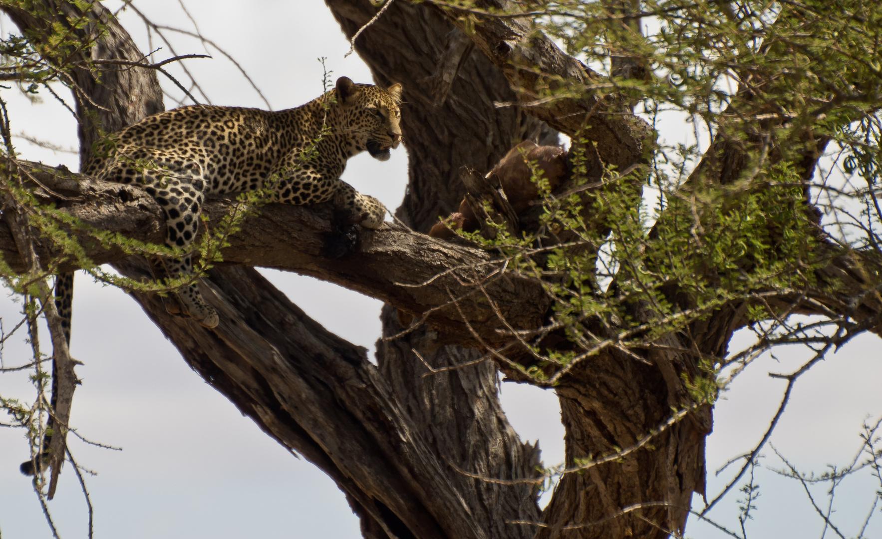 Leopard mit seiner Lieblingsgazelle im Baum