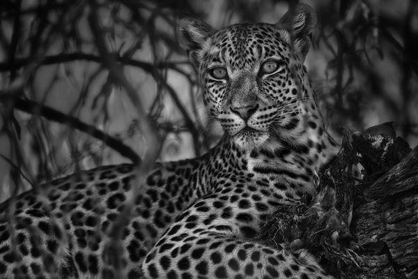 Leopard - Panthera pardus s/w