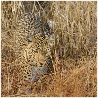 Leopard - perfekte Tarnung