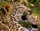 Leopard - pflegt sich