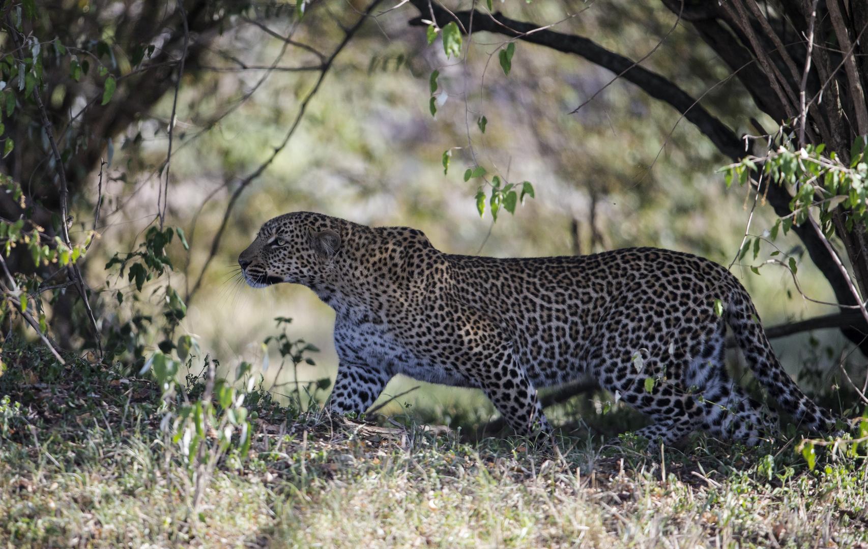 Leopard schleicht .....